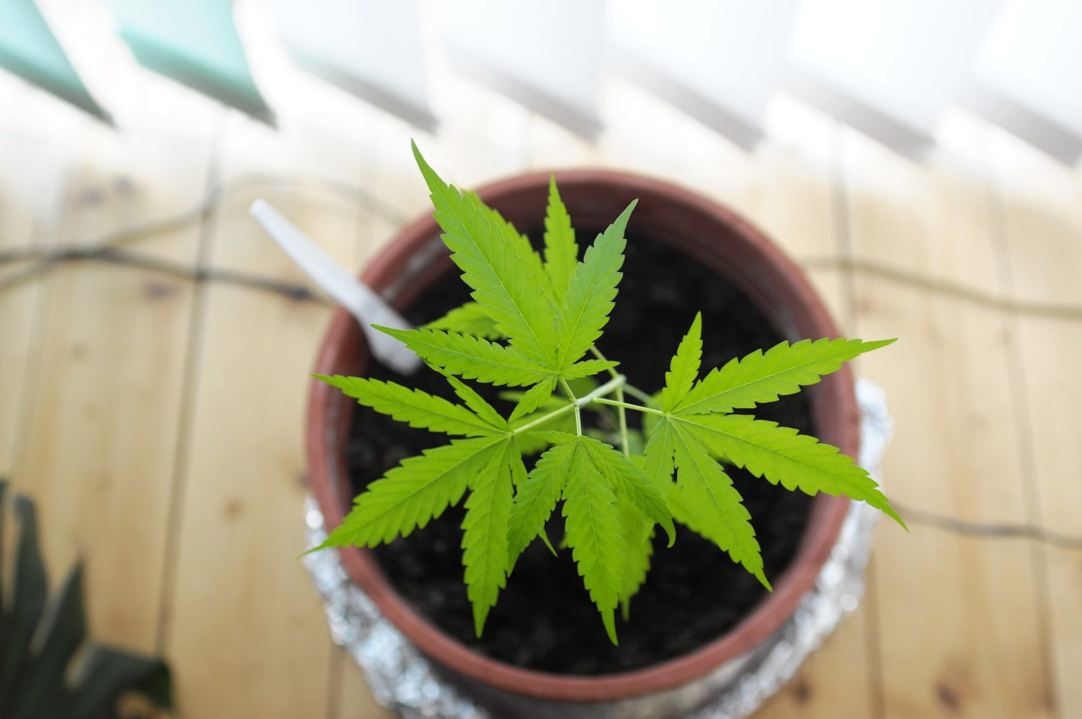 grow cannabis at home