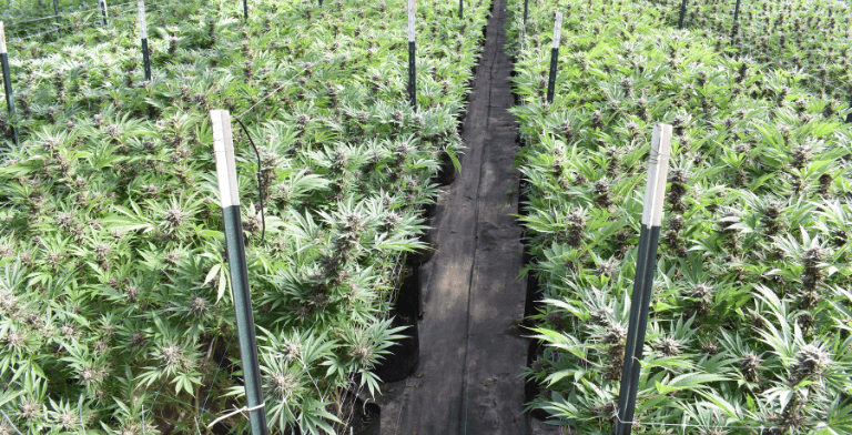 Plant Training Techniques